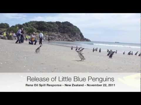 Little Blue Penguins Released in New Zealand