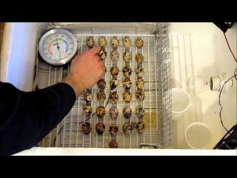 Kunstbrut Tag 4-14 |Kunstbrut 6| Eier drehen
