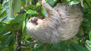 Costa Rica a  three-toed sloth InThe Wild