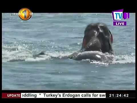 two elephants caught|eng