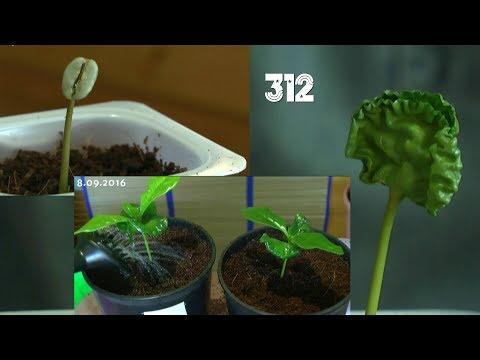 Kaffee vom Samen zur Pflanze Doku