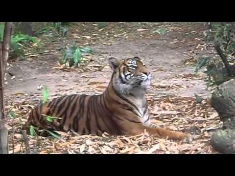 Cute Tiger Cubs at Taronga Zoo on16th Nov-11