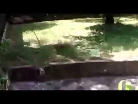 Youth eaten by tiger in Delhi Zoo