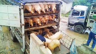 China turned its head to Vietnam pig.