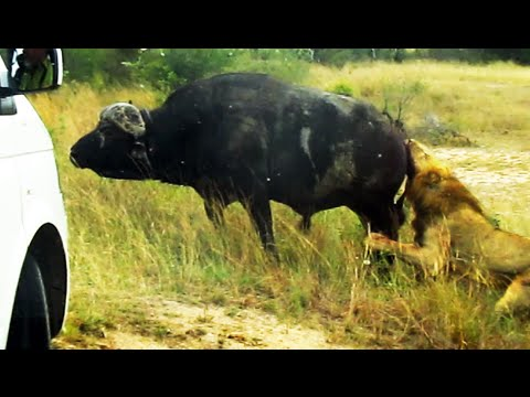 Buffalo Bursts Car's Tire to Chase Lions Away - Latest Wildlife Sightings
