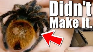 TRAGIC TARANTULA SHIPMENT!! THEY ARRIVED DEAD!! | BRIAN BARCZYK