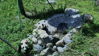 Happiness Village Baby Panda Garden 07-28-2018 03:30:52 - 04:30:52