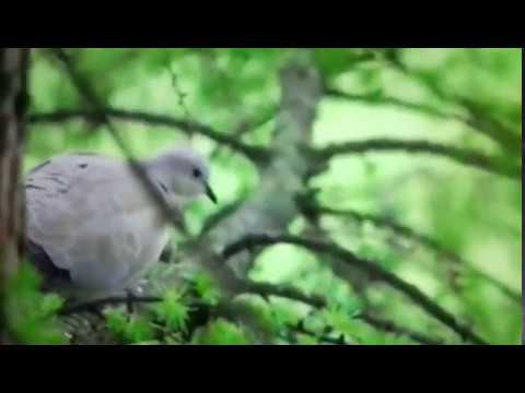 Burung Dederuk vs merpati liar