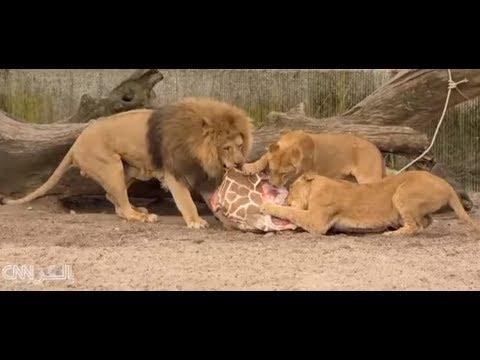حديقة حيوانات تعدم زرافة وتطعمها للأسود