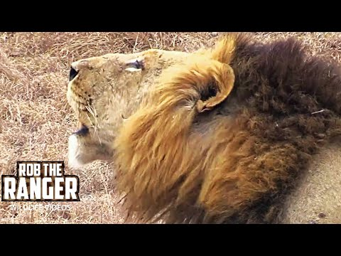 Stunning, Powerful, Hd Lion Roar video