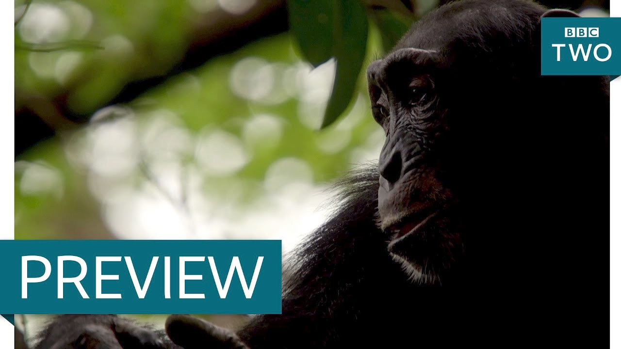 Do chimps have an imagination? - Nature's Weirdest Events: Series 5 Episode 8 Preview - BBC Two