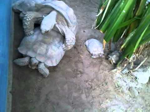Turtle Couple In Dubai Having Open Sex.3gp video