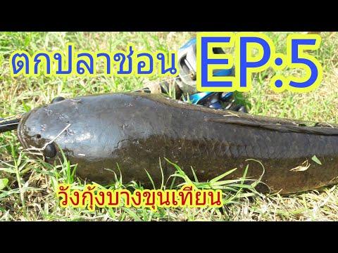 ตกปลาช่อน วังกุ้ง บางขุนเทียน EP : 5 ในวันที่ปลาหายาก