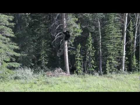 Grizzly Vs Black Bear