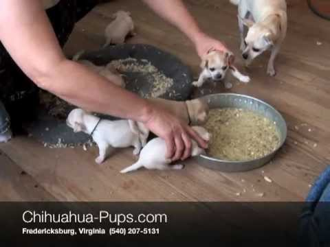 Weaning Puppies on 02 45   Weaning Chihuahua Puppies   4 Weeks Old   First Solid Food