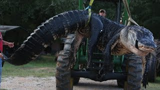 1000 POUND Alligator caught by hunters after 10 hour stake out breaks Records Largest ever captured
