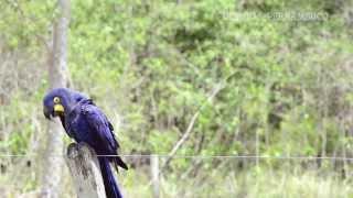 Conhe�a as araras do Pantanal