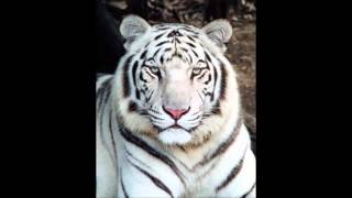 Watch White Tiger Stand And Deliver video