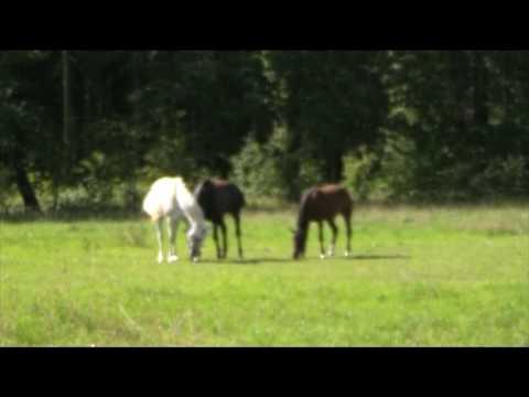 Free Video Stock : Pferde Schimmel Rappe Brauner : Gratis Videoclip