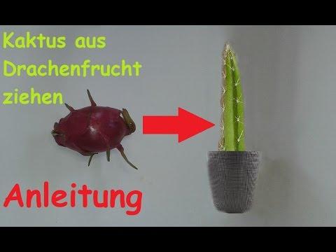 Pitahaya Drachenfrucht Kaktus züchten - DIY Pflanzen aus exotischen Früchten selber ziehen