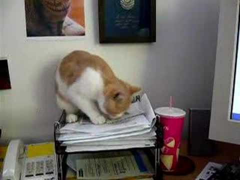 Billy -  helps with the paper work Scottish Shorthair kitten
