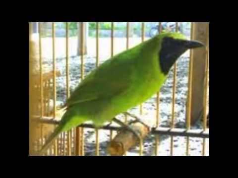 Kicau Burung Cucak Hijau Mini video