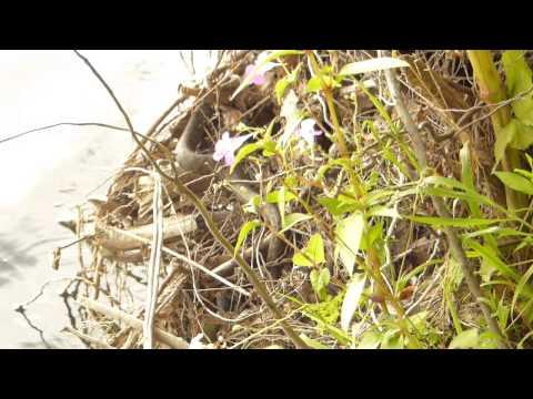 Natrix maura gravid female in situ