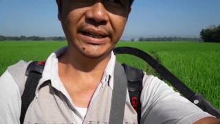 Pupuk Susulan Padi Organik Umur 30 HST dg POC/Air lindi