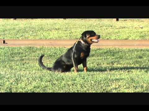 Rottweiler Schutzhund Training