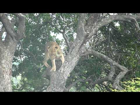 HLUHLUWE PARK: leeuw in boom