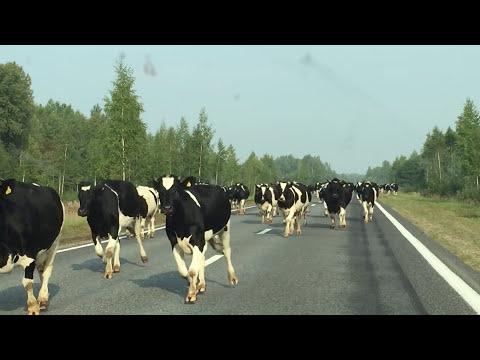Стадо коров в Белоруссии.