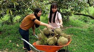 Thu hoạch Sầu Riêng và xẻ Sầu Riêng ăn ngay tại vườn  | Thôn Nữ Miền Tây