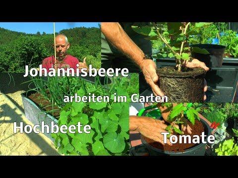 Johannisbeere umpflanzen im Sommer Mexikanische Tomate umtopfen und Garten erleben