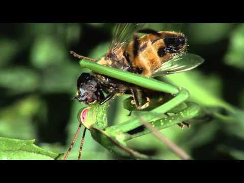 Praying Mantis eats fly alive