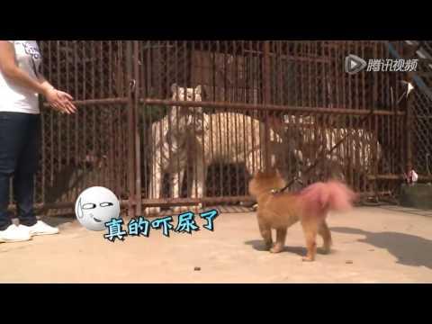 好奇實驗室 籠子裏的老虎會吓尿狗狗嗎?狗見到老虎反應 dog reaction when meet tiger