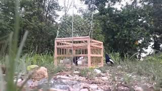 Jebak burung kacer mantap bro