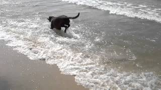 My Lab/German Shorthair Pointer mix dog having fun in Lake Michigan waves.