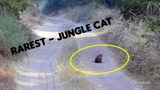 Jungle Cat Sighting Ranthambore   Face to Face