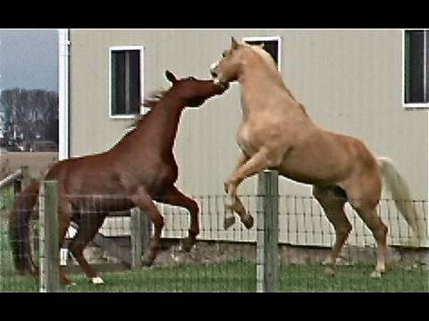 Horse Fight Big Male Bite Buck Kick Box Whinny Play