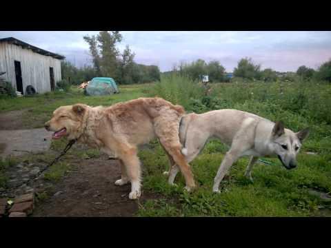 Собаки слиплись