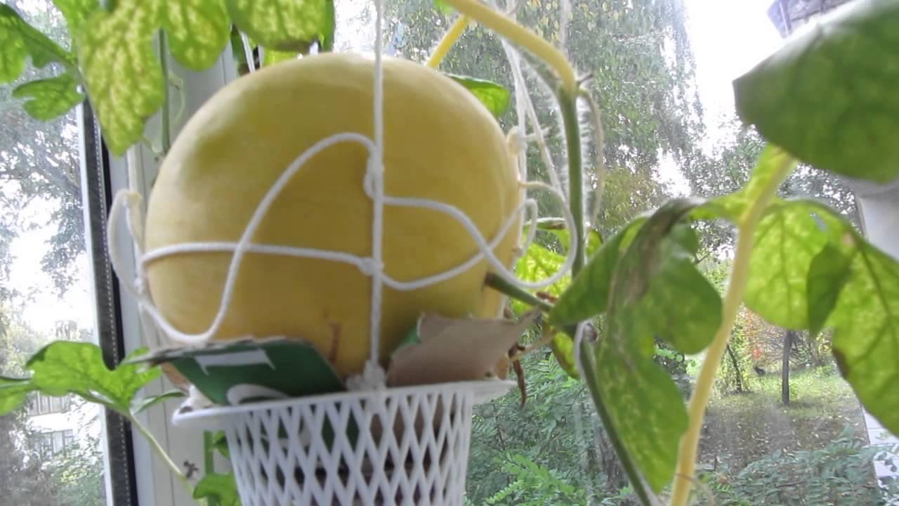 Как вырастить арбузы в домашних условиях на огороде
