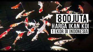 800 Juta Harga Ikan Koi 1 ekor di Indonesia
