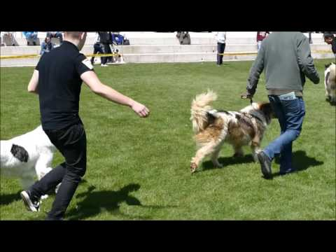 Special Tornjak dogshow - Kupres 2016