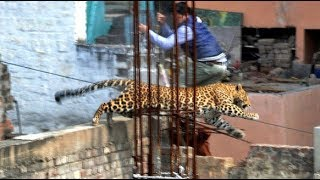 Leopard Sighted In Chiang Mai Streets After Escaping From The Zoo!