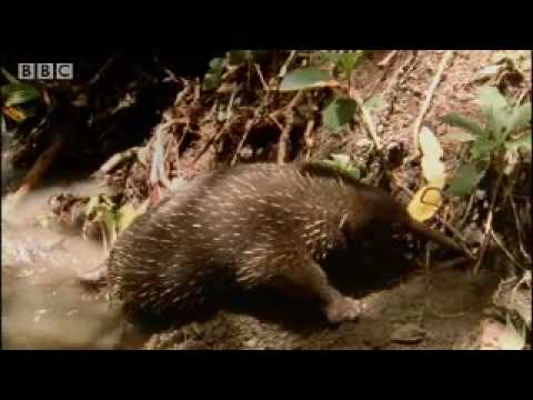 Rare wild footage of giant spiny anteater and cute baby Australian animals - BBC wildlife