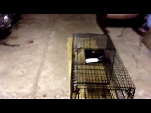 Copy of Bridger raccoon cage trap review