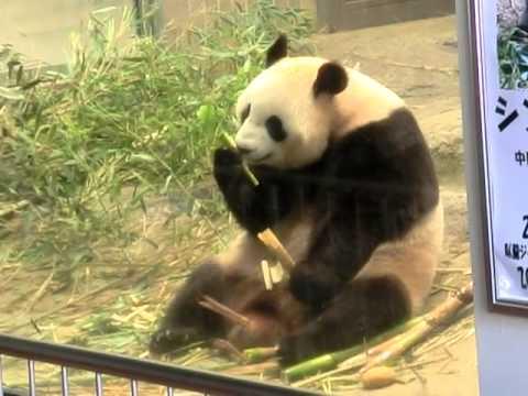 ジャイアントパンダ:シンシン@上野動物園