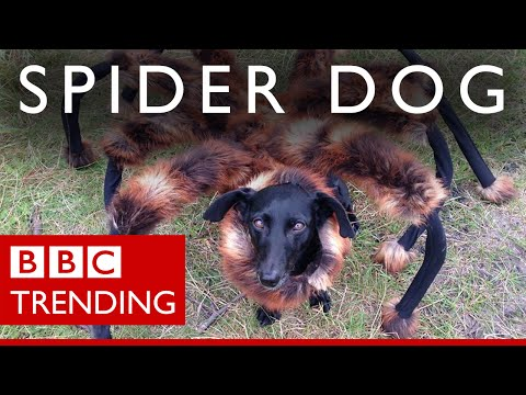 'spider-dog': Meet The Dog & His Master Behind The Prank #bbctrending video