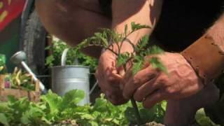 Tomaten/Paradeiser Ausgeizen Contra