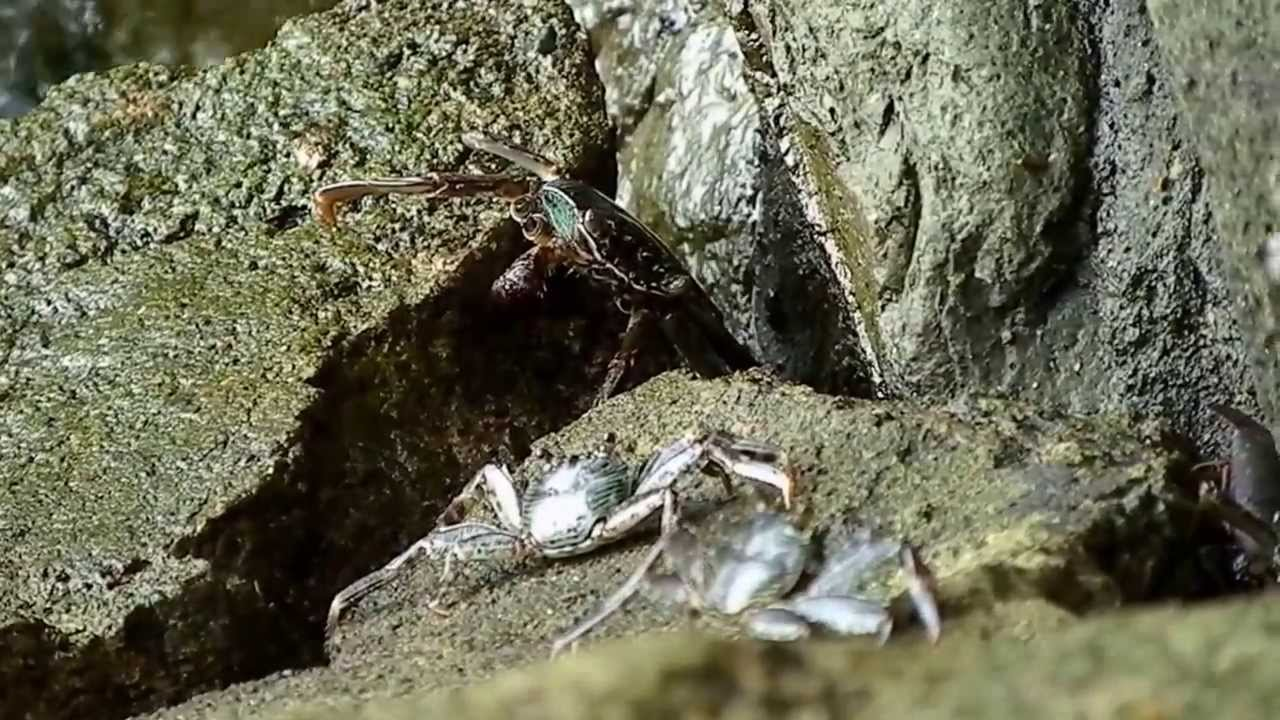 Poisonous Crabs in The Philippines Poisonous Crabs Philippines